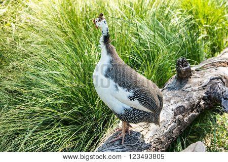 Helmeted Guinea Hen Bird