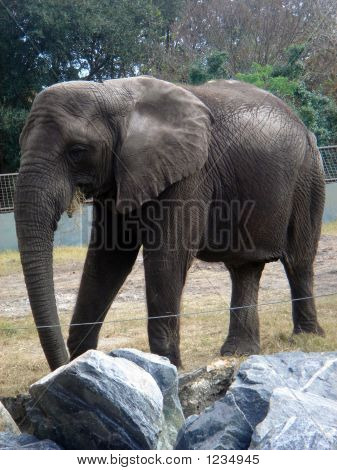 a wild elephant caged for all to see poster