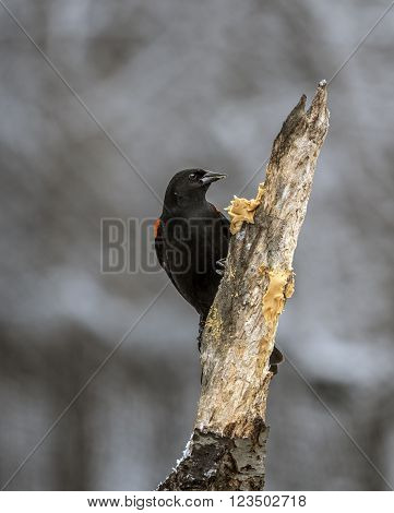 red-winged blackbirdAgelaius phoeniceus is a passerine bird of the family Icteridae