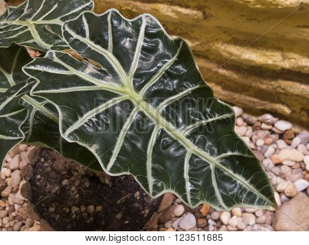 Big leaf of alocasia amazonica also known as: horse face