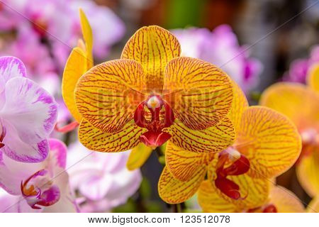 Streaked orchid flowers. Beautiful orchid flowers.