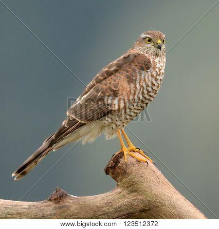 Eurasian sparrowhawk (Accipiter nisus) in natural scenery