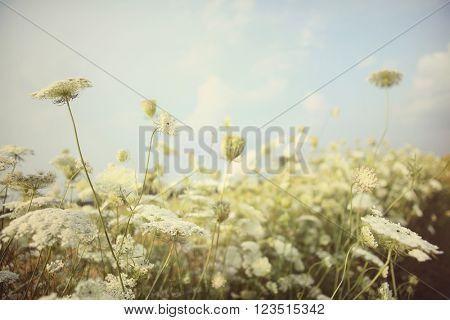 Field of Queen Anne's Lace, meadow wildflowers