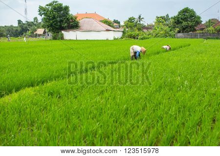 Farmers in the rice fields. Indonesia.