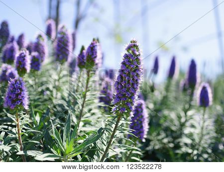 Echium candicans commonly known as pride of Madeira is a species of flowering plant in the family Boraginaceae native to the island of Madeira. poster