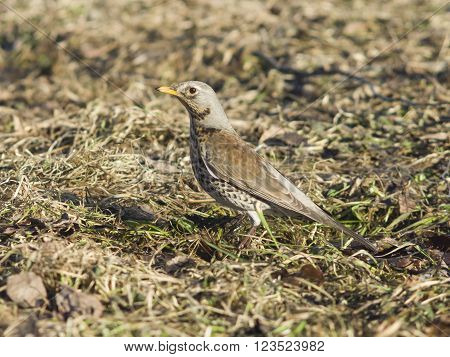 Fieldfare turdus pilaris on the dry grass selective focus
