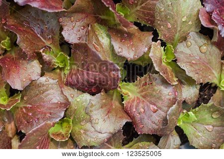 Young red coral salad plant in organic farm, stock photo
