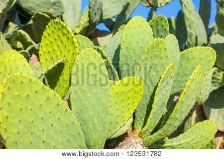 Opuntia cactus, green plant natural background, Cyprus