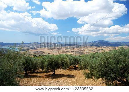 Olive groves with lake Vinuela and mountains to the rear near Periana Costa del Sol Malaga Province Andalusia Spain Western Europe. poster