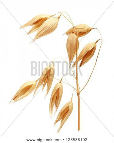 Oat ears of grain isolated on white background