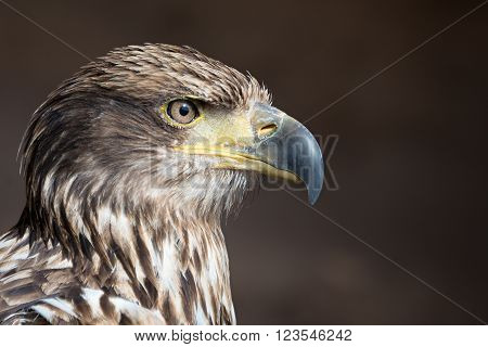 Aquila chrysaetos.Close up portrait, profile of the head of a golden eagle. Showing detailed feathers, beak and eye.