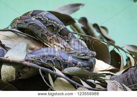 Python snake in zoo Safari World. Bangkok Thailand. Close up ** Note: Soft Focus at 100%, best at smaller sizes