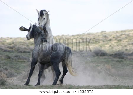 Wild horse fight_4552