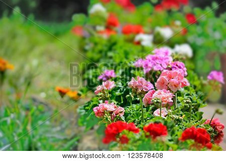 some colorful geraniums in a green garden