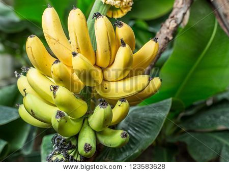 Ripe bunch of bananas on the palm. Closeup picture.