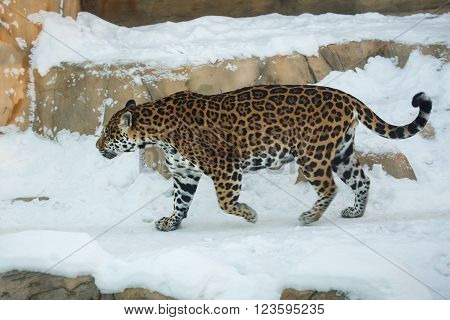 Leopard or Panthera pardus walking on snow