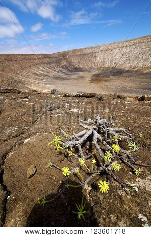 Flower  Plant    In Los Volcanes Volcanic Rock    Lanzarote Spain