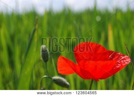 Foto de amapola con fondo de brotes y campo verde
