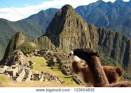 A photo of two llamas looking at the ancient city of  Macchu Picchu, Peru.