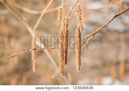 Birch catkins on a branch closeup spring. Birch bud (Alnus Alder Betula Betulaceae) on a nature background