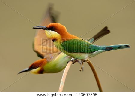 beautiful chestnut headed bee eater (Merops leschenaulti) possing