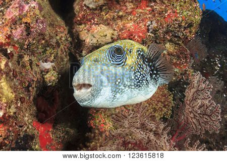 Bluespotted Pufferfish on coral reef