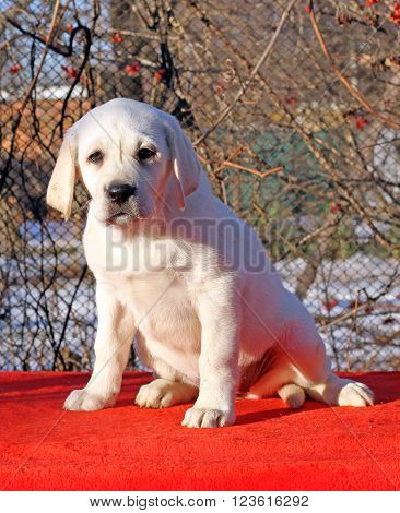 A Little Labrador Puppy On A Red Background