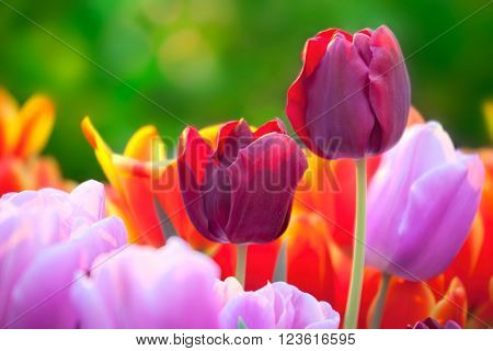 Tulips of multi-colored flowers in a spring sunny greenhouse