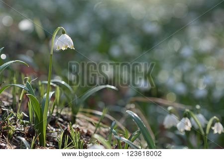 Leucojum Vernum, Spring Flower In Nature Reserve
