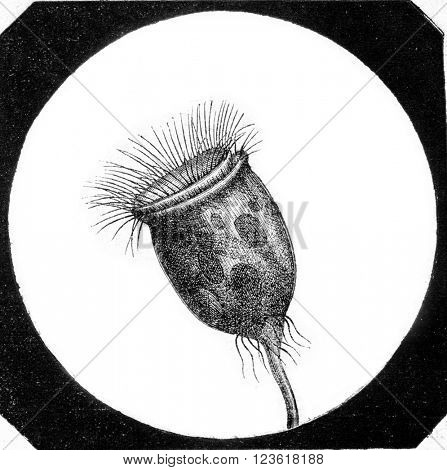 Vorticella, Vorticella arbuscula, magnified 400 times, vintage engraved illustration. Magasin Pittoresque 1873.