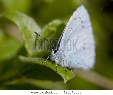 Common Blue Butterfly (Polyommatus Icarus) Common Blue Butterfly on foliage