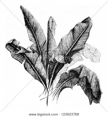 Banana tree, vintage engraved illustration. Magasin Pittoresque 1873.