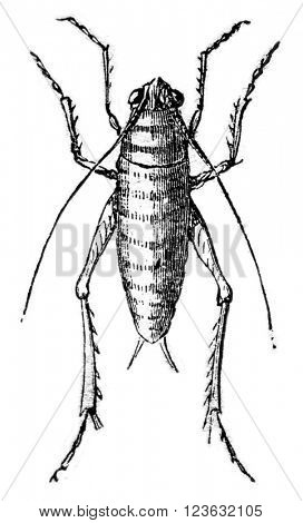 Larva of green grasshopper, vintage engraved illustration. Magasin Pittoresque 1870.