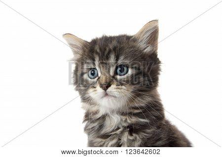Cute Tabby Kitten Face On White