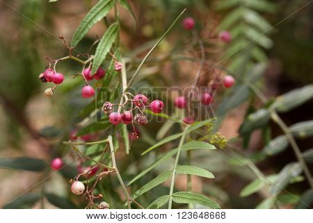 Berries of a Pepper or Three Month Tree (Qundo berberie) in Ethiopia.