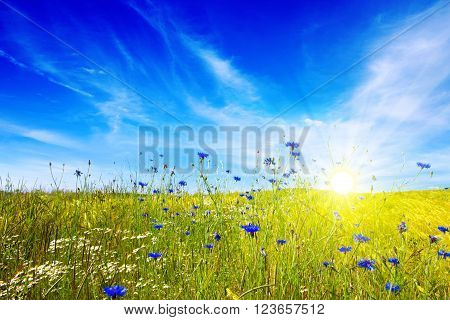 Summer cloudy landscape with flowers field . Colorful landscape with flower meadof and blue sky.