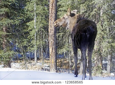Picture of a young moose in Bragg Creek,Alberta,Canada. ** Note: Soft Focus at 100%, best at smaller sizes