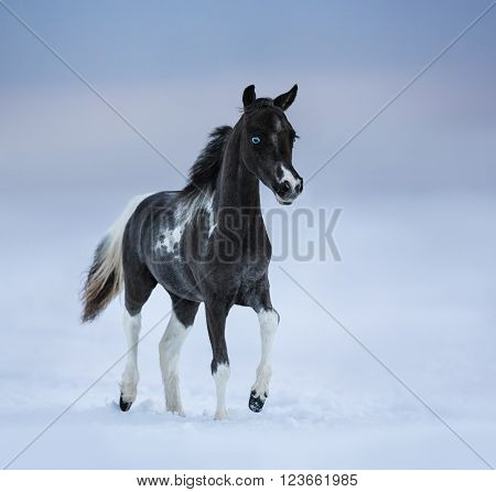 Blue-eyed foal walks on snowfield. Breed horse - American miniature horse.