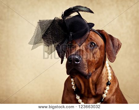 Rhodesian Ridgeback lady dressed in a hat and a necklace on a golden background