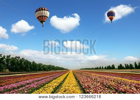 Two magnificent multi-colored balloons flying over flower field. Flowers on the field planted by color stripes. Israeli kibbutz on the border with Gaza Strip