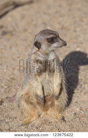 Portrait Of Playful And Curious Suricates In A Small Open Resort, Closeup