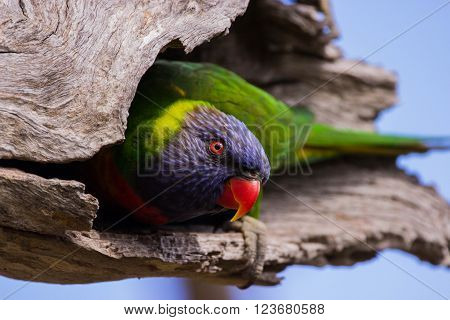 A very inquisitive Rainbow Lorikeet keeping an eye on me