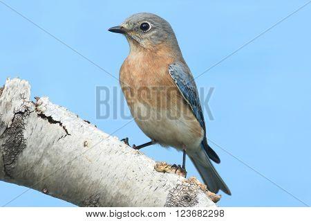 Female Eastern Bluebird (Sialia sialis) on a birch perch with a blue background