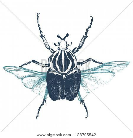 Hand drawn goliath beetle on white background