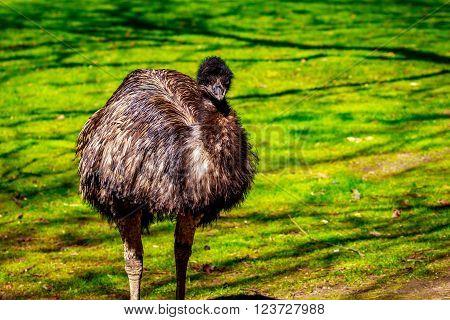 Emu On Meadow
