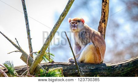 A Patas Monkey sits on the tree branch.