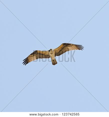 Osprey in flight against a blue sky