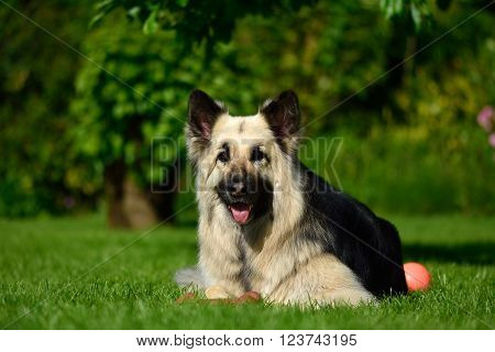 Long haired German Shepherd dog lying with ball. Beautiful black and tan Alsatian bitch on a grass lawn, looking forwards with orange toy
