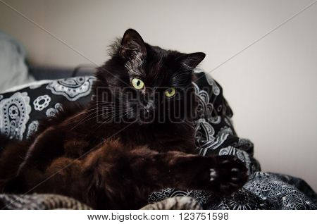 Portrait of a beautiful black male cat looking away at home