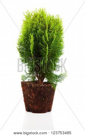 Cypress thuja with roots isolated on white background